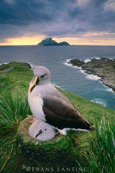 Gray-headed albatross brooding chick, Thalassarche chrysostoma, South Georgia Island