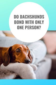 Sometimes Your Dachshund May Become Protective And Very Close To