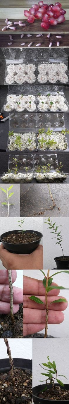 Growing Pomegranate Bonsai From Seed