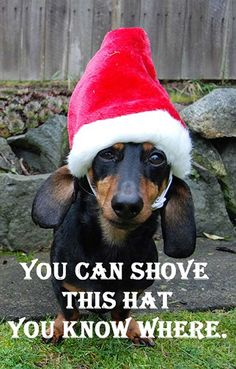 10 Hilarious and True Dachshund Memes That Will Totally Make Your Day Christmas Animals, Christmas Dog, Christmas Humor, Christmas Dachshund, Christmas Countdown, Christmas Lights, Merry Christmas, Funny Babies, Funny Dogs