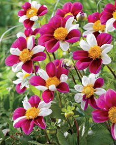 Flowers Pink Twying's Smartie Novelty Dahlia - The flower petals are a random combination of pink and white. They are lush plants that produce blooms of about Not winter hardy. Great for containers. Amazing Flowers, My Flower, Colorful Flowers, Flower Power, Beautiful Flowers, Unique Flowers, Flower Petals, Dahlia Flower, Flowers Nature