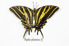 Female Three-tailed Swallowtail Butterfly, Papilio pilumnus, photograph by:  Darrell Gulin