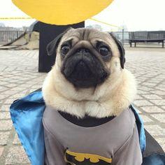 I am the hero you deserve  #puglife #batman