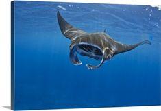 Premium Thick-Wrap Canvas Wall Art Print entitled Manta ray feeding in Kona, Hawaii, None
