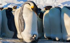 Emperor penguin chicks keeping dad on their toes, in pictures ...
