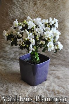 Azalea på stam Blomsterbutik Världens Blommor Landskrona Vi finns på Google Telefon: 0418 65 11 59 www.varldensblommor.se
