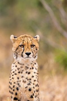 Cheetah - A young Cheetah in the Kruger national park, south africa.