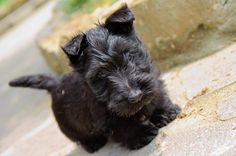 This is what my evilpuffle looked like as a baby! Scotties all look the same.. I love her so much! polkadotcupcake