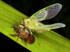 https://flic.kr/p/oa6RYG   Cicada molting   see adjacent photos of the process
