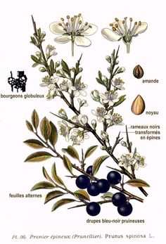 hawthorn botanical illustration - Google Search