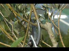 Promesse de Fleurs - YouTube Olivier En Pot, Comment Planter, Planters, Cocktail, Gardens, Gardening, Trees And Shrubs, Plant Cuttings, Green Plants