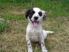 Cocker Spaniel/Border Collie Mix? Really? It looks like an English Setter to me.