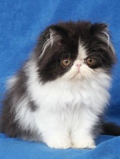 2215 Best Persian cat and kitten images in 2019 | Cats