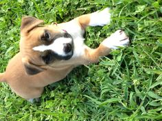 """Our newest addition """"Gava"""" (Pitbull boxer mix)"""