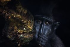https://flic.kr/p/oHiZiR | Young Sulawesi Black Crested Macaque, playing inside a large hollow tree trunk @ Durrell Wildlife Conservation Trust
