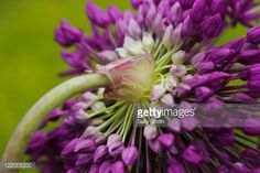 Allium (Allium hollandicum, syn. A. aflatunense) 'Purple Sensation',  May Photographer: Sally Smith