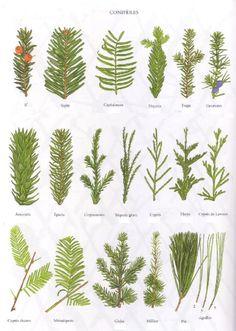 Quatre pages d'encyclopédies représentant les feuilles de 53 feuillus et 19 conifères ; ça peut aider à l'identification, cliquer pour agrandir les planches. – – Merci Borda…