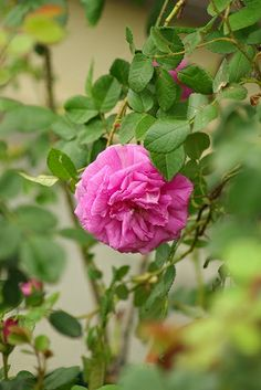 Moss Rose: Rosa 'Eugenie Guinoisseau' (France, 1864)