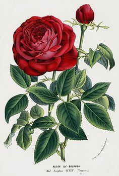 1845 Charles Lemaire Flore de Serres Prints