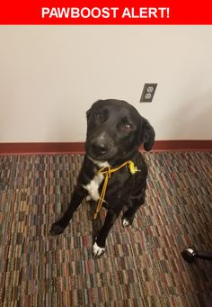 Is this your lost pet? Found in Colorado Springs, CO 80923. Please spread the word so we can find the owner!  Description: Neutered male. Very sweet but vocal.  Nearest Address: 6888 Black Forest Road, Colorado Springs, CO, United States