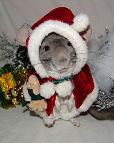 Christmas chinchilla