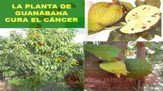 GUANÁBANA QUIMIO NATURAL CONTRA EL CANCER