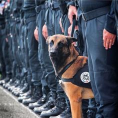 Today I will only be featuring Diesel a #belgianmalinois who was a member of the SWAT police team that was killed in this mornings operation. I respect and appreciate every one who puts their life on the line to protect others and K9s like Diesel deserve just as much respect. #AllDogsGoToHeaven #RIPDiesel #ThankYou #forevergermansheps by forever_german_shepherds