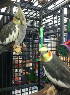 Baby and Willy are a bonded pair of cockatiels and need a forever home,  please go to lazibirds.org and fill out an adoption application. Located in Warwick, RI.
