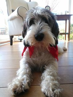 This breed of dog is a Petit Bassett Griffon Vendeen - he's gorgeous! Cutest Small Dog Breeds, Cute Small Dogs, Cute Dogs, Feel Good Pictures, Dog Pictures, Cute Puppies, Dogs And Puppies, Petit Basset Griffon Vendeen, What Dogs