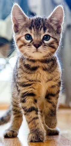 Cute Animals To Draw Pics – Miez Miez – Cute Cartoon Animals Girl; Cute Animals To Draw Pics – Miez Miez – Pretty Cats, Beautiful Cats, Animals Beautiful, Beautiful Pictures, Cute Kittens, Tabby Kittens, Cute Kitten Pics, Bengal Cats, Cute Cartoon Animals