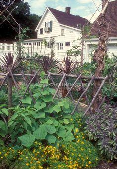 Trellis cucumbers