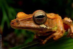 Mountain hourglass tree frog #projectnoah #amphibian #nature
