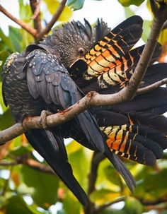 Parrot - The colorful tail feathers of the Red-tailed Black-Cockatoo.- from Bird Life Australia