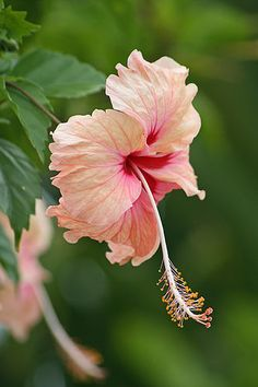Peach Hibiscus..... just planted one of these last weekend!