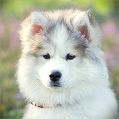 Mocha Bear always looks so thoughtful.    Huskies On Instagram, Cute Dogs, Dog Lovers, Husky, Husky Puppy, Cute Husky, Best Dogs On Instagram, Fluffy Dogs, Cutest Dogs, Huskies, Siberian Husky, Siberian Huskies, Cute Huskies, Best Pets, Dog Photography, I