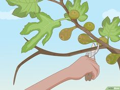 How to Prune a Fig Tree. Keeping your fig tree pruned will help it to produce sweeter, tastier figs since it enables the sugars and hormones to travel all the way up the branches and into the fruits. Fig Fruit Tree, Fig Tree, Garden Care, Garden Trees, Lawn And Garden, Fig Bush, Heron Fountain, Tree Pruning, Pot Plante