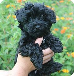 Don Juan 19023 Poodle (Miniature) Mix: An adoptable dog in Prattville, AL Small – Puppy – Male  I am up to date with shots, good with kids, and good with dogs.  Don Juan is an 8-week-old male Poodle mix.  He is just about the most precious thing you will EVER see.  Don Juan is solid black with just a little bit of white on his chest.  This adorable little fellow only weighs 3 pounds and his mother is tiny so we feel like he will be an itty bitty adult dog.  DJ's coat is just as soft...