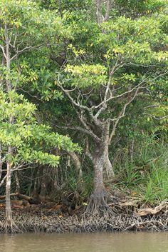 Iriomote mangrove, Okinawa, Japan