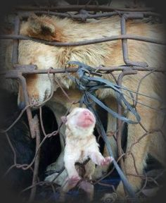 A PUPPY BORN ON THE WAY TO A SLAUGHTERHOUSE. PHOTO WAS TAKEN BY A RESCUE GROUP, ANIMALS WERE SAVED from the meat and fur industry. But everyday there are millions worldwide that aren't. That's why promoting awareness is crucial. https://www.facebook.com/pages/Animal-Cruelty-Exposed/363725540304160