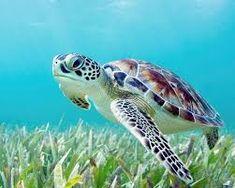 Beautiful Sea Creatures, Animals Beautiful, Cute Animals, Green Animals, Beautiful Ocean, Baby Sea Turtles, Cute Turtles, Turtles Candy, Turtle Baby