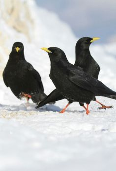The Alpine Chough /ˈtʃʌf/, or Yellow-billed Chough, (Pyrrhocorax graculus) is a bird in the crow family, one of only two species in the genus Pyrrhocorax. Its two subspecies breed in high mountains from Spain east through southern Europe and North Africa to Central Asia, India and China, and it may nest at a higher altitude than any other bird.
