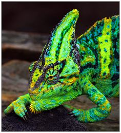 Chameleon Lizard - capable of changing color. Nature Animals, Animals And Pets, Cute Animals, Reptiles Et Amphibiens, Mammals, Beautiful Creatures, Animals Beautiful, Beautiful Things, Chameleon Lizard