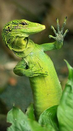 Photogenic #green #lizard gives you five
