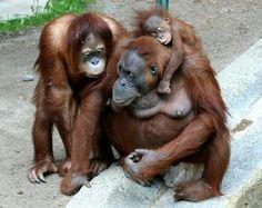 Orangutan borneo #onefamily