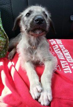 Irish Wolfhound puppy