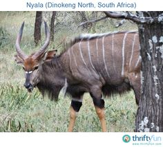 Photo of a nyala, taken at Camp Discovery in Dinokeng North.