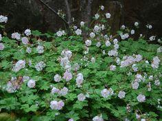 Liten flocknäva - Perenner - Trädgårdsväxter