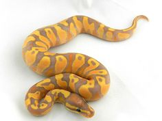 'Super Orange dream Yellow belly Banana' ball python. You didn't believe me about the mouthful names, did you??