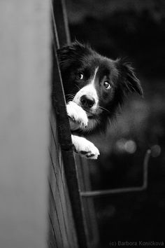 I just want to look out! by Hasicc.deviantart.com Border Collie Puppies, Border Collie Mix, Collie Dog, Sweet Dogs, Cute Dogs, Dog List, Herding Dogs, Australian Shepherd, Dog Photos