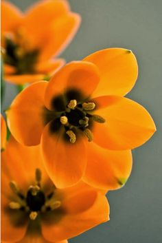 Sun Star - orange perennial flower - Family of the Hyacinthaceae or Liliaceae is a perennial bulbous plant from South Africa.